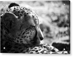 Acrylic Print featuring the photograph Catnap by Whitney Goodey