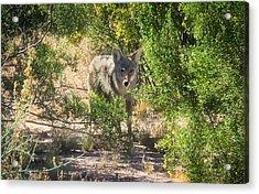 Cautious Coyote Acrylic Print