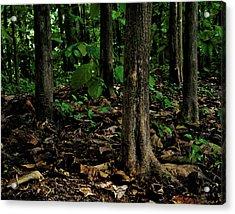Cedar Trees Acrylic Print