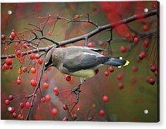 Cedar Waxwing 102206 Acrylic Print