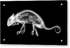 Chameleon Chamaeleo Chamaeleon Acrylic Print by Nick Veasey