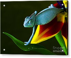 Chameleons Belong To One Of The Best Acrylic Print