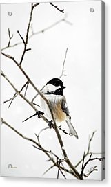 Charming Winter Chickadee Acrylic Print