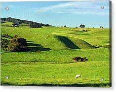 Charolais Cattle Grazing Near Flinders Acrylic Print