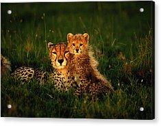 Cheetah Acinonyx Jubatus With Cubs In Acrylic Print by Art Wolfe