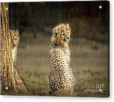 Cheetah Cubs And Rain 0168 Acrylic Print