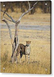 Acrylic Print featuring the photograph Cheetah by John Rodrigues