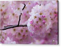 Cherry Blossom 8624 Acrylic Print