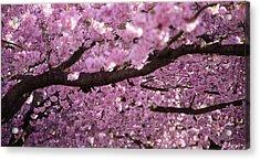 Cherry Blossom Tree Panorama Acrylic Print