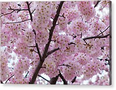 Cherry Blossoms 8611 Acrylic Print
