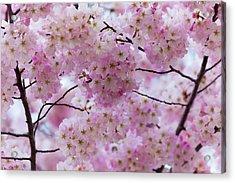 Cherry Blossoms 8625 Acrylic Print