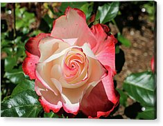 Acrylic Print featuring the photograph Cherry Parfait Rose by Dawn Richards