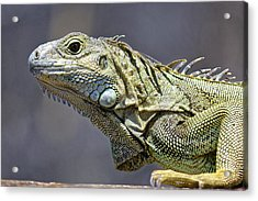 Chicken Of The Trees - Iguana Acrylic Print