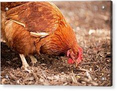 Chicken On The Farm Acrylic Print