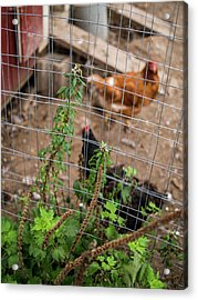 Acrylic Print featuring the photograph Chickens by Whitney Leigh Carlson