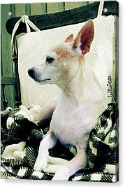 Chihuahua Chiqui Portrait 3 Acrylic Print