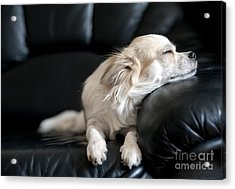 Chihuahua Dog Dozing On Black  Leather Acrylic Print