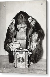 Chimpanzee Looking Through Vintage Box Acrylic Print by Fpg