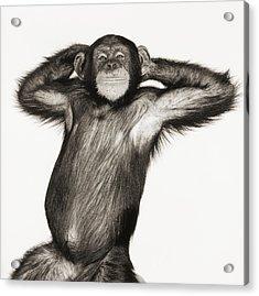 Chimpanzee Pan Troglodytes With Arms Acrylic Print