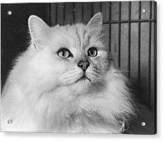 Chinchilla Cat Acrylic Print by Folb