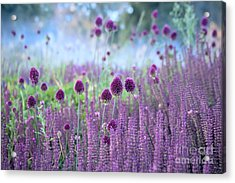 Chive Herb Flowers - Allium Acrylic Print