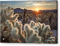 Chollas Cactus Sunrise Joshua Tree Acrylic Print by Sierralara