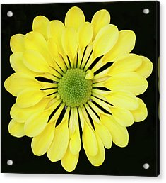 Chrysanthemum Acrylic Print by Andrew Dernie