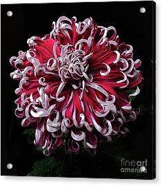 Acrylic Print featuring the photograph Chrysanthemum 'lilli Gallon' by Ann Jacobson