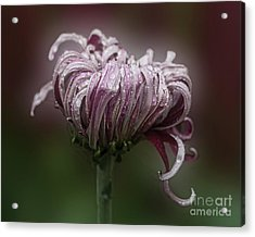 Acrylic Print featuring the photograph Chrysanthemum 'lily Gallon' by Ann Jacobson