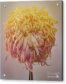 Acrylic Print featuring the photograph Chrysanthemum 'louisiana' by Ann Jacobson