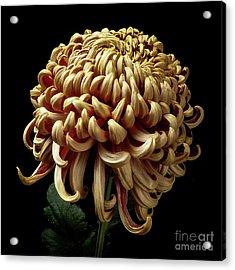 Acrylic Print featuring the photograph Chrysanthemum 'nijin Bilgo' by Ann Jacobson