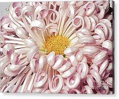 Acrylic Print featuring the photograph Chrysanthemum Satin Ribbon by Ann Jacobson