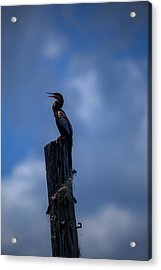 Cinematic Looking Anhinga Acrylic Print
