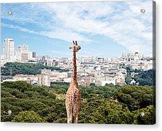 City Giraffe Acrylic Print by Richard Newstead