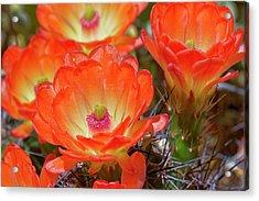 Claret Cup Cactus Flowers, Echinocereus Acrylic Print by Adam Jones