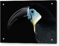 Close-up Channel-billed Toucan, Ramphastos Vitellinus, Isolated On Black Acrylic Print