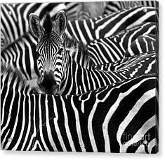 Close Up From A Zebra Surrounded With Acrylic Print