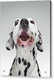 Close Up Of A Dalmatian Dog Acrylic Print by Tim Macpherson