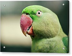 Close Up Of A King Parrot Acrylic Print