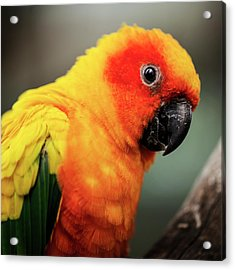 Close Up Of A Sun Conure Parrot. Acrylic Print