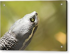 Close Up Of A Turtle. Acrylic Print