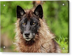 Close-up Of Adult Male Gray Wolf, Canis Acrylic Print by Adam Jones