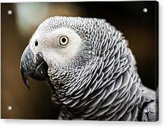 Close Up Of An African Grey Parrot Acrylic Print