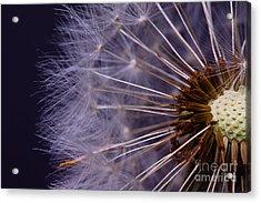 Close-up Of Dandelion Seed Acrylic Print