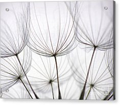 Close-up Of Dandelion Seed With An Acrylic Print