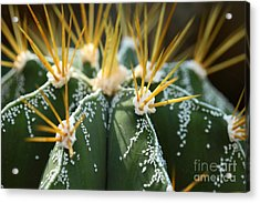 Close Up Of Globe Shaped Cactus With Acrylic Print