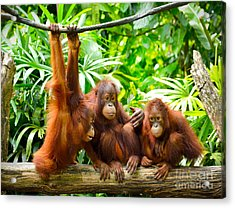 Close Up Of Orangutans, Selective Focus Acrylic Print by Tristan Tan