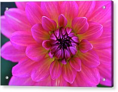 Close-up Of Pink Flower Acrylic Print by Jupiterimages
