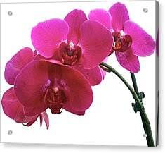 Close-up Of Purple Orchid Against White Acrylic Print by Andrew Coulter / Eyeem