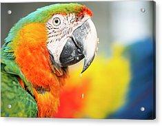 Close Up Of The Macaw Bird. Acrylic Print